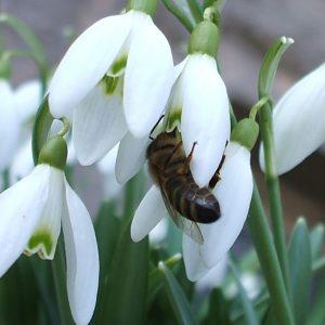 Schneeglöckchen mit Biene